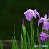 池の辺に咲く