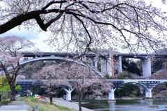 橋の桜包み