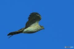 鳩捕獲へ追跡中の大鷹Ⅱ
