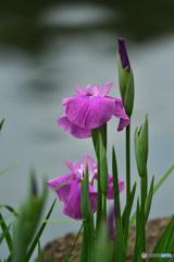 水辺の生け花。。