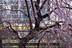 街中の枝垂桜