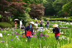 菖蒲の花摘み娘