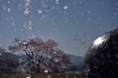 晴れ雨(真珠)