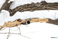 オオアカゲラ ♀