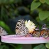 蝶のテーブル