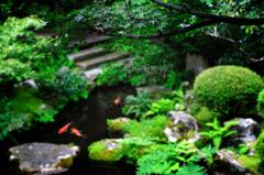 青モミジと、鯉のいる庭園