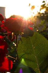 薔薇と夕陽