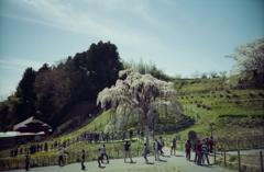 三春さんとこの滝桜