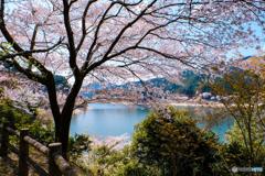 湖畔の桜 #3
