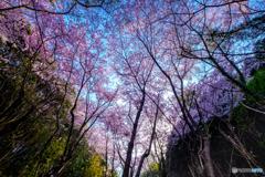 桜のVライン