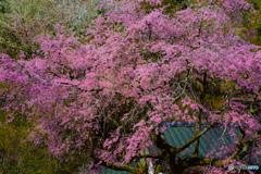 山里の桜 #2