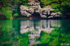 桜のReflection