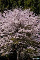一本桜 #2
