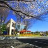 保土ヶ谷公園の桜