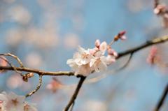 初桜@新宿御苑にて
