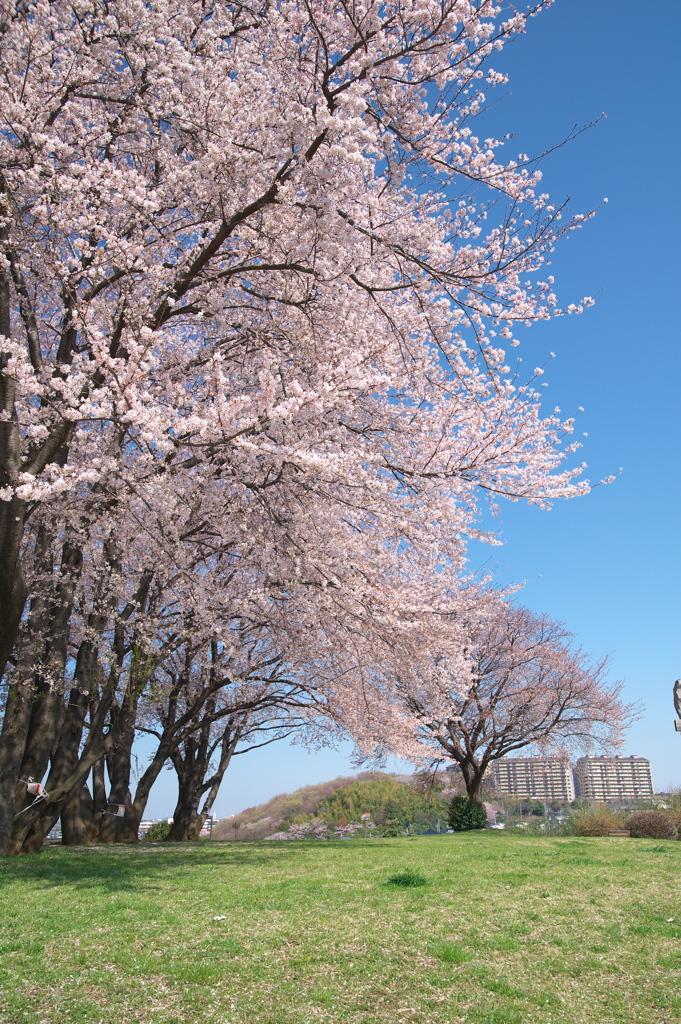 ニュータウンと桜