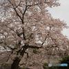最寄り駅道中の桜②