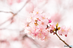 三浦海岸桜まつり@2020 #4