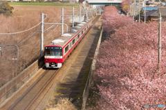三浦海岸桜まつり@2020 #7