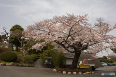 最寄り駅道中の桜①
