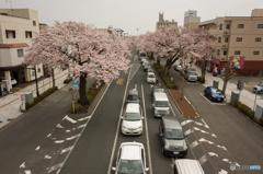 平和通り桜並木②