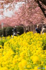 三浦海岸桜まつり@2020 #6