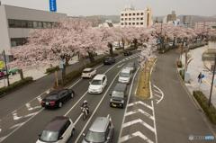 平和通り桜並木③