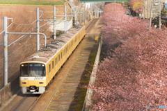 三浦海岸桜まつり@2020 #9