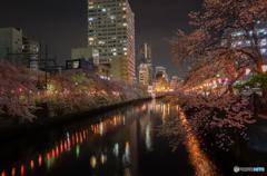 大岡川沿い夜桜散策 #12