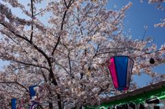 大岡川桜探訪 #13