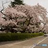 最寄り駅道中の桜③