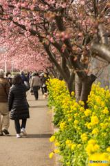 三浦海岸桜まつり@2020 #3