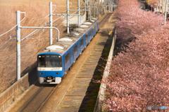 三浦海岸桜まつり@2020 #8