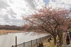 三浦海岸桜まつり@2020 #13