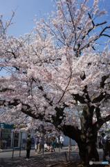 弘明寺桜探訪