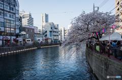 大岡川桜探訪 #17