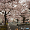 平和通り桜並木①