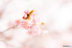 三浦海岸桜まつり@2020 #5