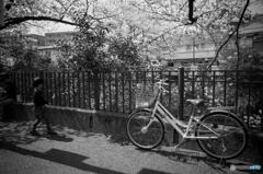 大岡川桜探訪 #14