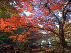 透光の紅葉