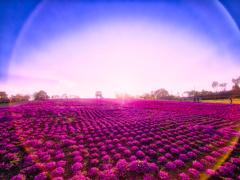 ゴースト フレアの芝桜