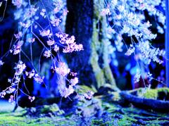 霊幻の荘厳 -桜の季節詩