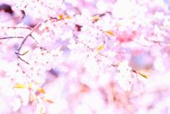 薄紅色に染まる桜花