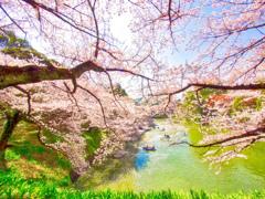 春の謳歌 千鳥ヶ淵桜景色