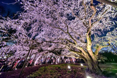 六義園 夜景桜