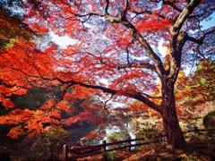 光と陰の紅葉