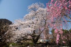枝垂れ桜を愛でて