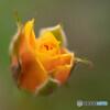 小さな薔薇に