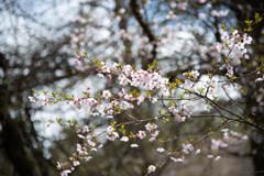 山桜も綺麗に