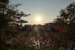夕陽と蓮池